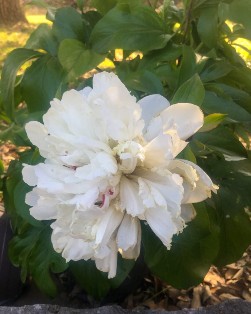 white peony festive maxima in bloom - J Dub By Design