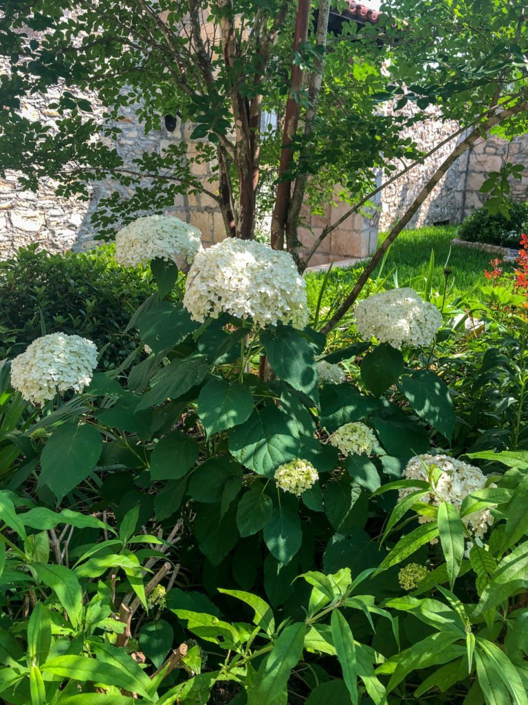 Annabelle hydrangea blooms in a courtyard - J Dub By Design