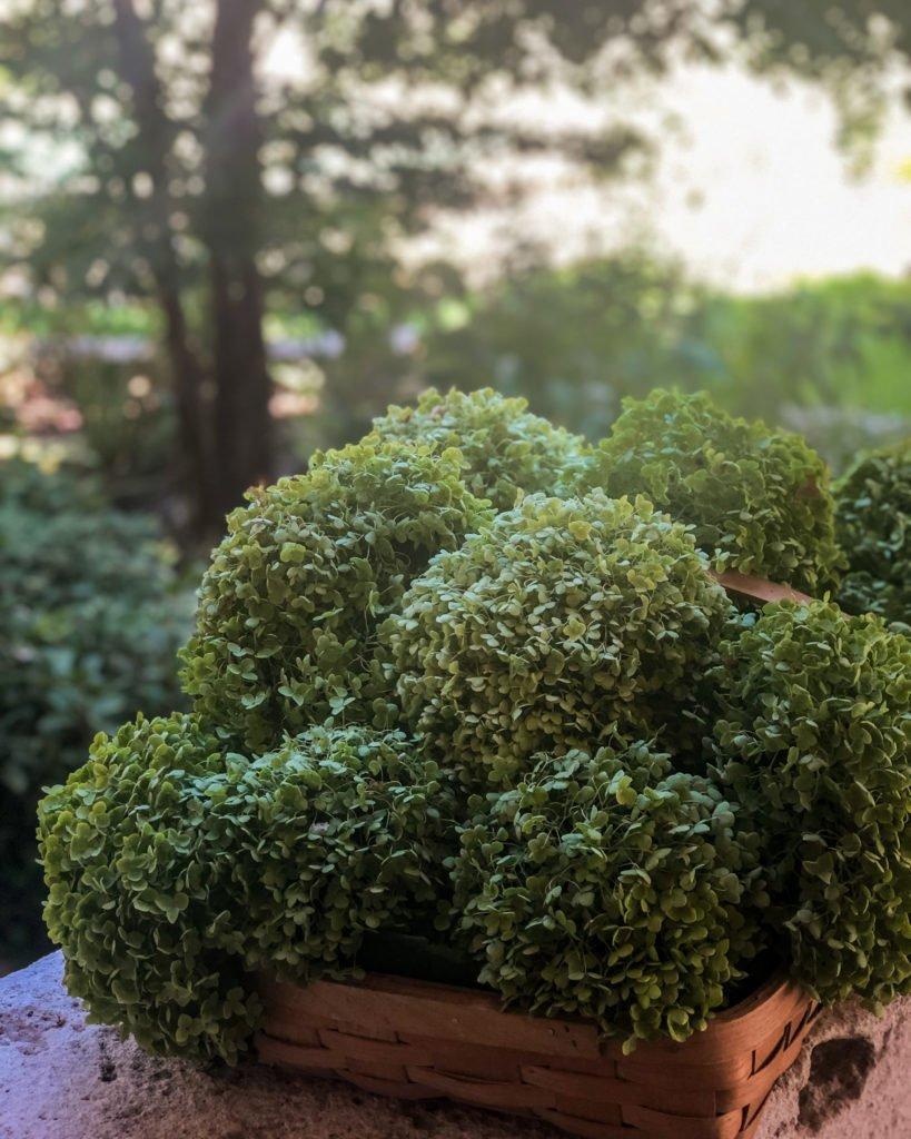 'Annabelle' hydrangea harvest in the fall - J Dub By Design