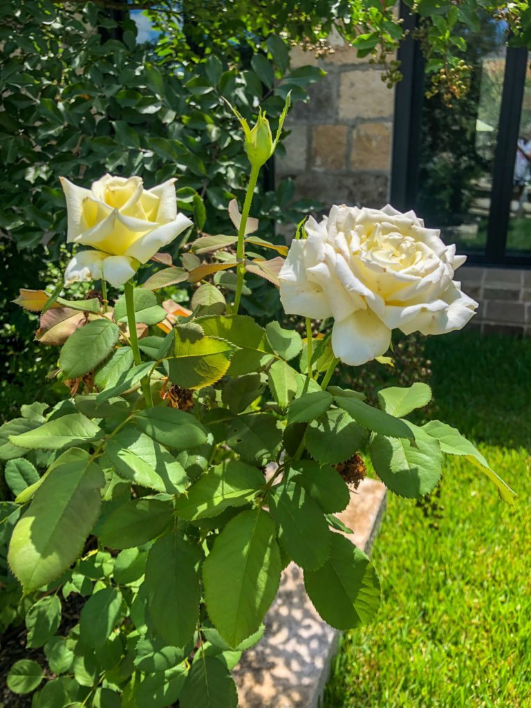 Pope John Paul II large white rose blooms - J Dub By Design