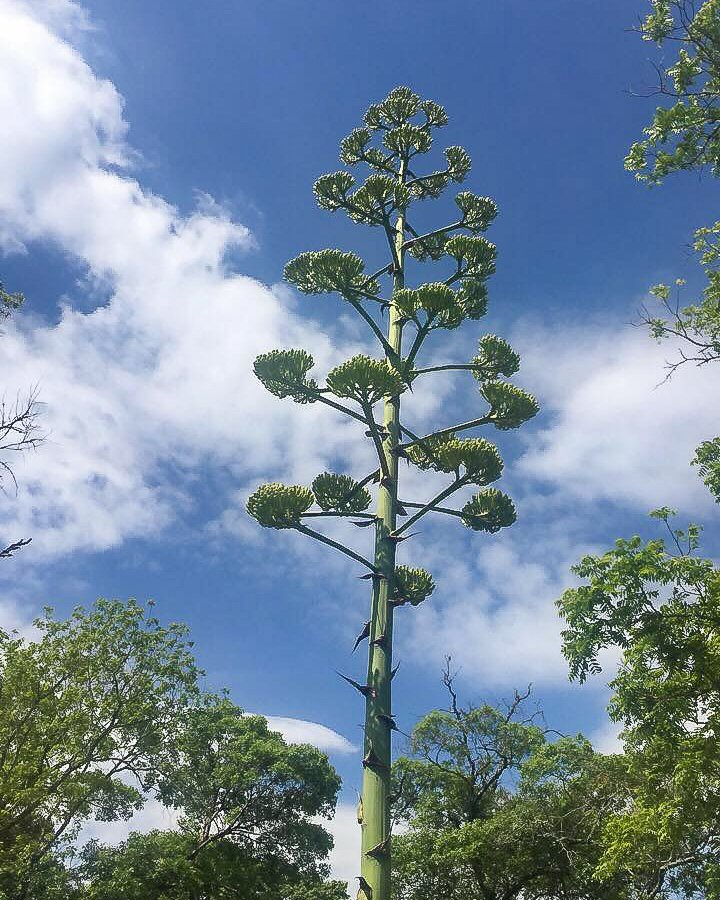 Agave Americana Century Plant in bloom - J Dub By Design