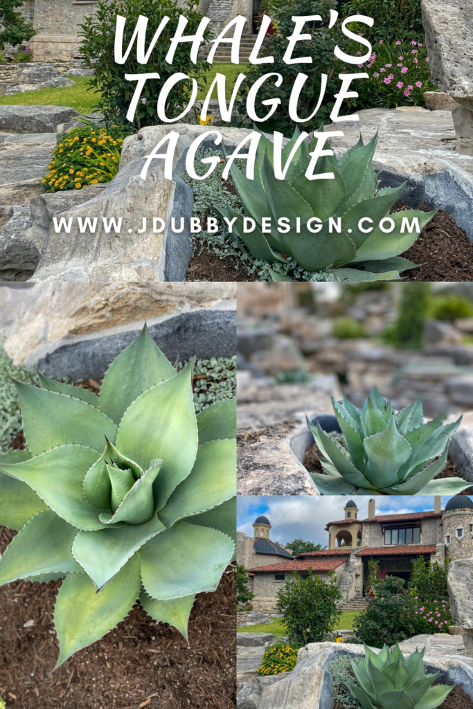 Guide to the Whale's Tongue Century Plant - J Dub By Design