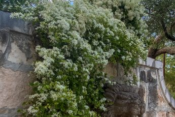 Sweet Autumn Clematis Vine in full bloom - J Dub By Design