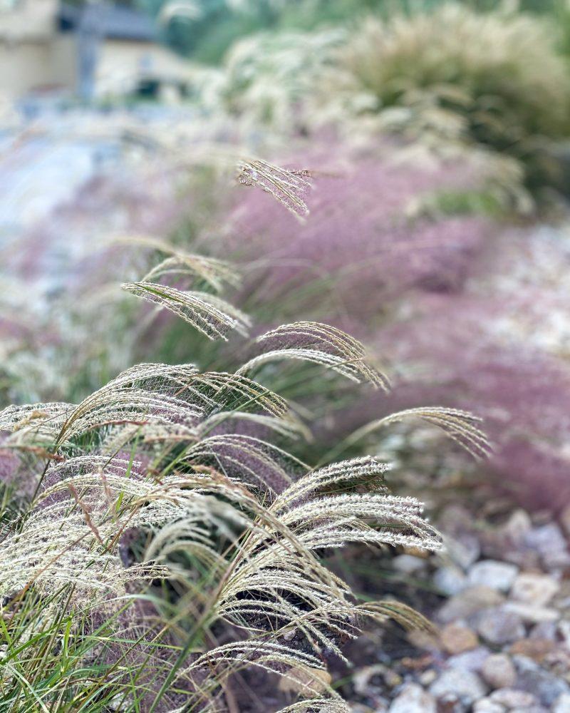 Ornamental grasses in the zone 8 fall landscape - J Dub By Design