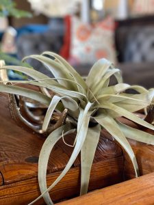 Tillandsia placed in decorate antlers - J Dub By Design